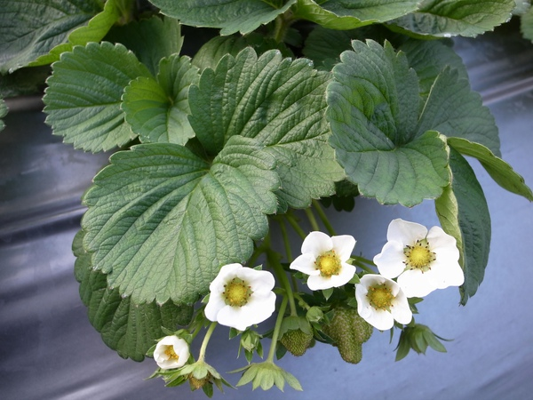 草莓白花.jpg