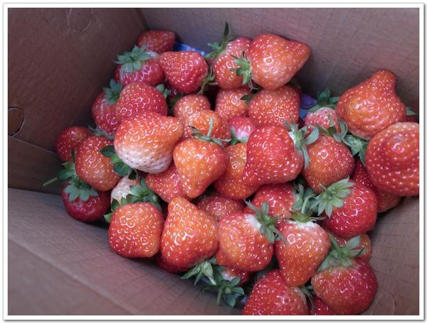 草莓大豐收.jpg