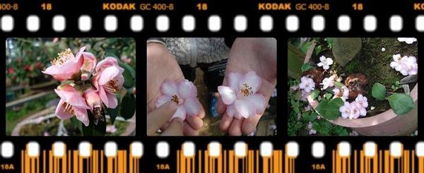 2-7整朵凋零的茶花.jpg