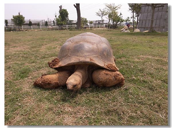 3.高齡的象龜.jpg