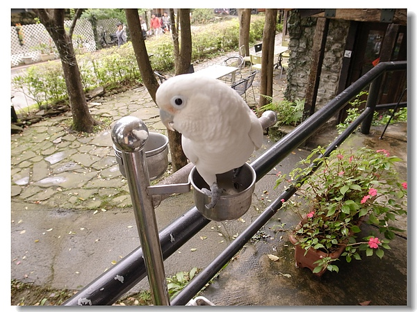 2-3.可愛的白鸚鵡.jpg