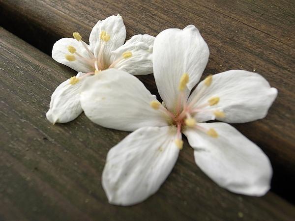 7.二朵油桐花.jpg