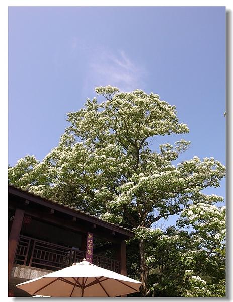 8.屋簷旁的桐花.jpg