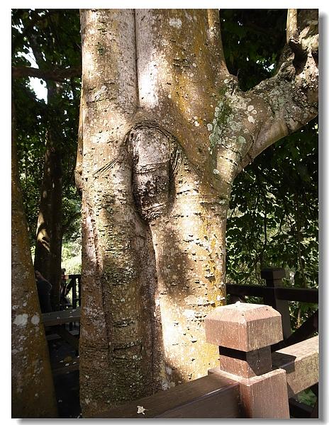 13.百年油桐樹幹.jpg