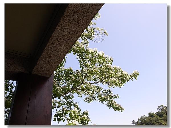 11.坐看桐花.jpg