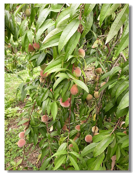 8.結實壘壘的桃子樹.jpg