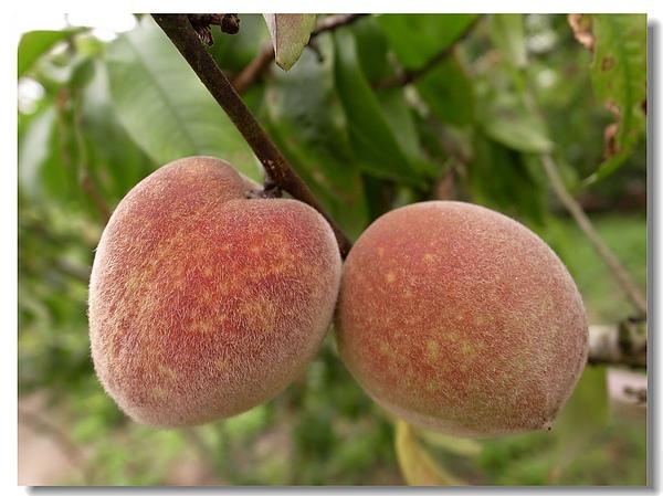 11.鮮艷欲滴的甜桃成熟了.jpg