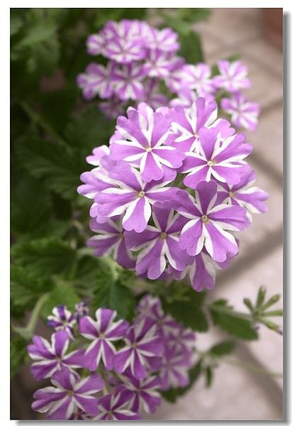5-1.美麗紫白花.jpg
