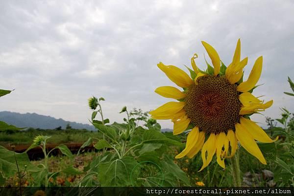 陽光的向日葵.jpg