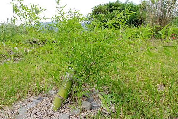 過一陣子是不是可以採竹子了呢.jpg