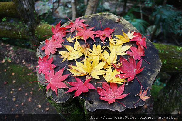 秋紅之中吃楓葉1.jpg