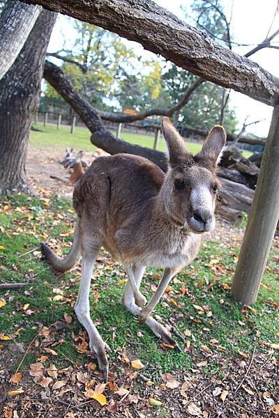kangaroo_08.JPG