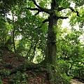傘樹1.JPG