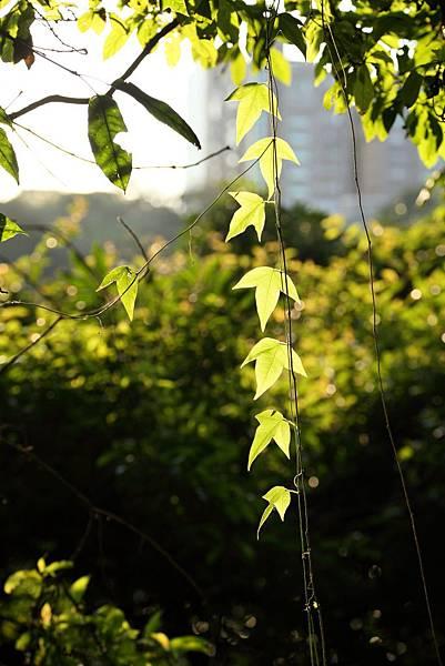 逆光的葉子3.JPG