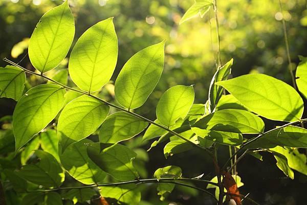 逆光的葉子4.JPG