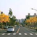 黃花風玲木_01.JPG