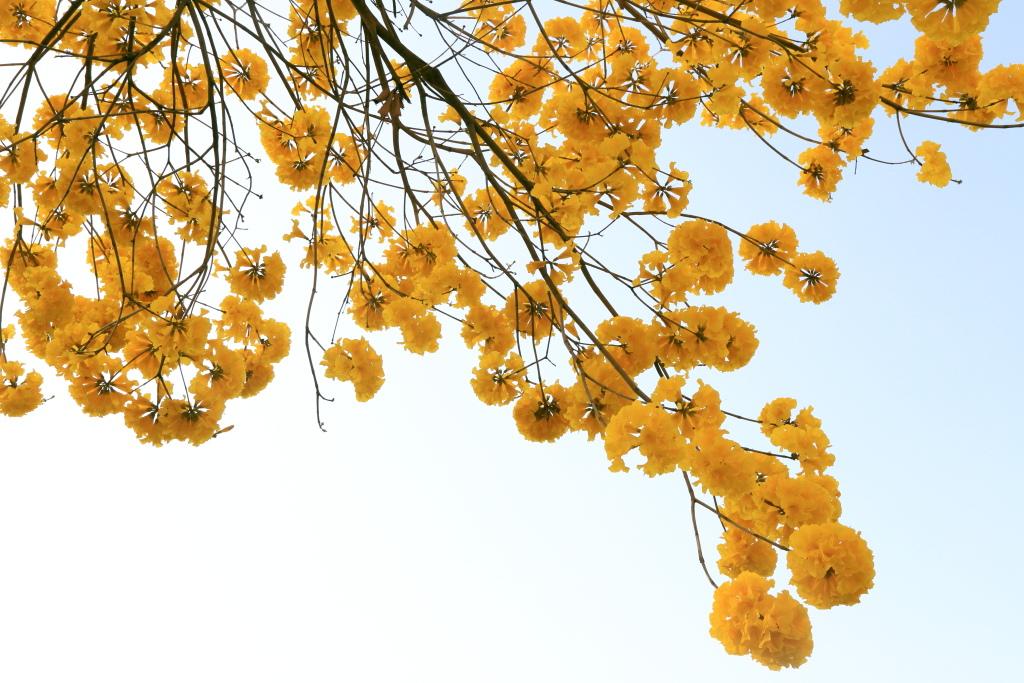 黃花風玲木_10.JPG
