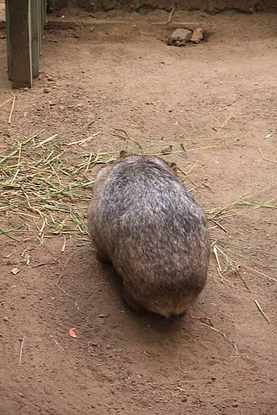 Wombat_06.JPG