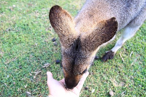 kangaroo_16.JPG