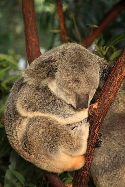 Koala_29.JPG