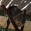 Koala_12.JPG
