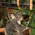 Koala_27.JPG