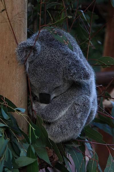 Koala_17.JPG