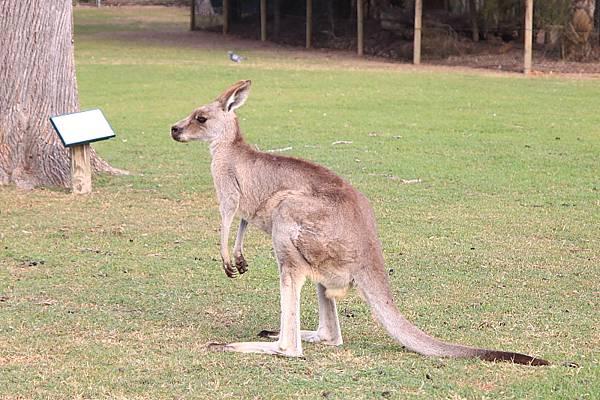 kangaroo_04.JPG