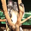 Koala_05.JPG