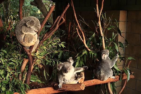Koala_31.JPG