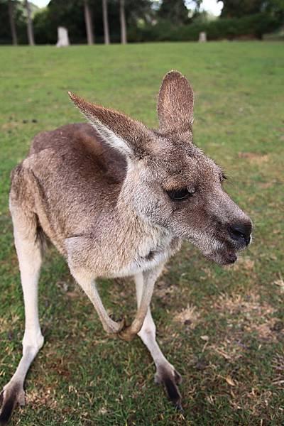 kangaroo_07.JPG
