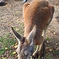 kangaroo_13.JPG
