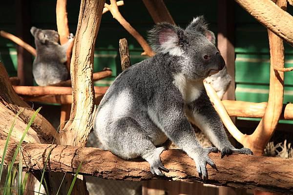 Koala_07.JPG