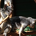 Koala_09.JPG