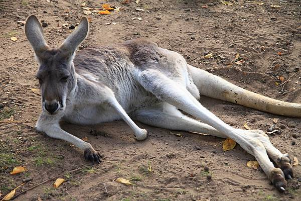 kangaroo_09.JPG