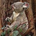 Koala_22.JPG