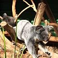 Koala_04.JPG