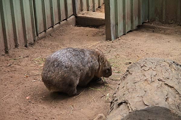 Wombat_08.JPG