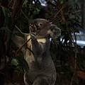 Koala_19.JPG