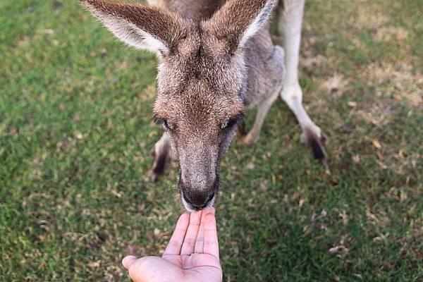 kangaroo_05.JPG