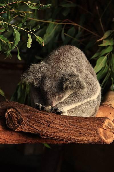 Koala_33.JPG