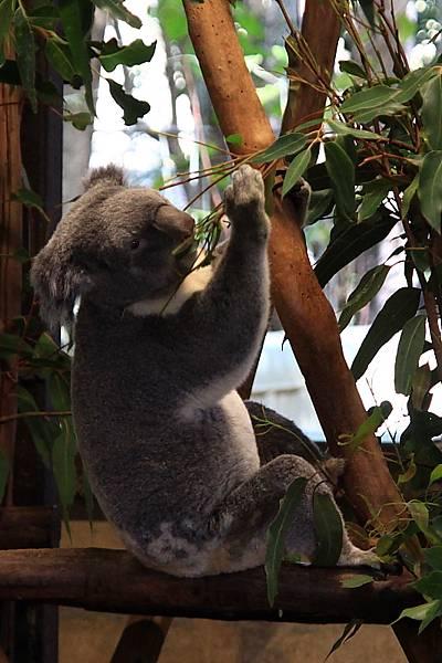 Koala_13.JPG