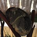 Koala_11.JPG