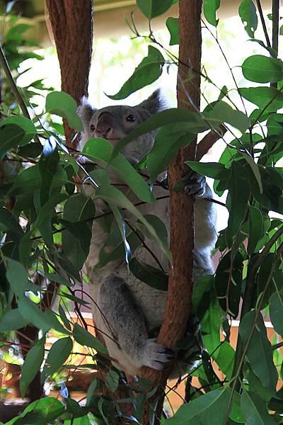 Koala_10.JPG
