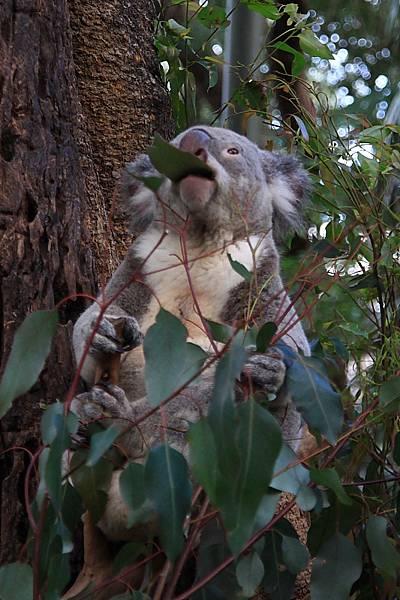 Koala_16.JPG