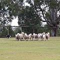 dog sheep show_02.JPG
