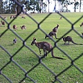 kangaroo_02.JPG