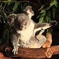 Koala_32.JPG