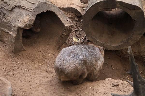 Wombat_04.JPG