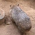Wombat_02.JPG